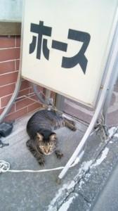 ストームキャットって猫なの?