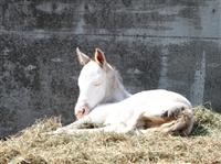 69d62c73 - ディープスカイ産駒の白毛馬誕生