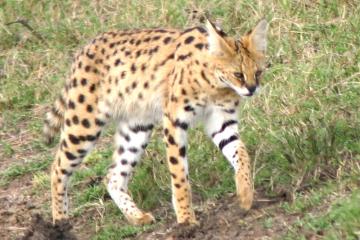 ネコパンチの妹、ネコハッピーが2月22日、猫の日にデビュー(12:25発走)