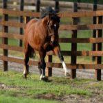 モーリス2ヶ月ぶりに放牧地で元気に走り回る。9月末に出国予定