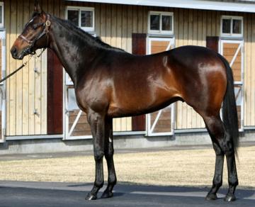 名牝の忘れ形見 エアグルーヴの13(ルーラーシップ全弟)がお披露目 均整のとれた馬体に威圧感